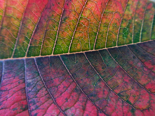 Macro of a dying Poinsettia leaf