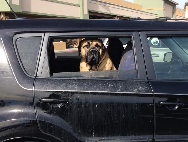 Big Dog in a Small Car