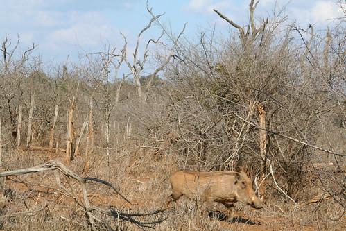 Warthog Running in Hlane