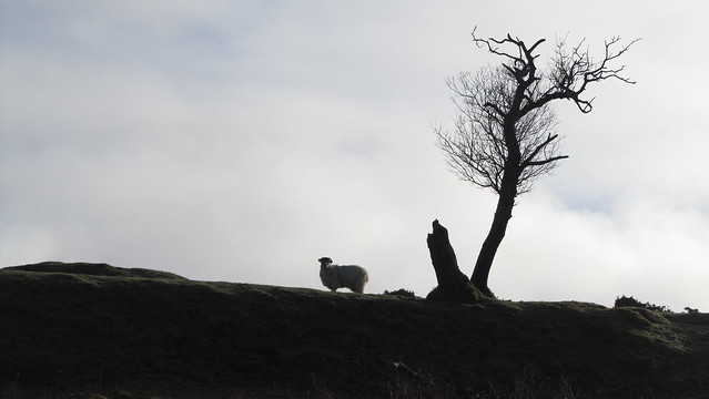 sheep by a tree
