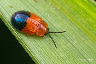 Leaf beetle (Callispa dimidiatipennis) - DSC_5282