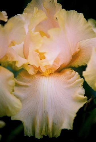 Iris 'Lanai' - Ghio 1997 20728099574_aa6af82736
