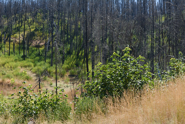 black oak saplings in a forest burn area