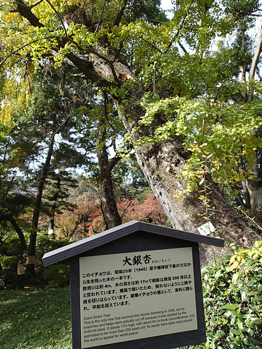 Only tree to survive Hiroshima Atomic Bomb Blast located in Shukkeien Garden Hiroshima