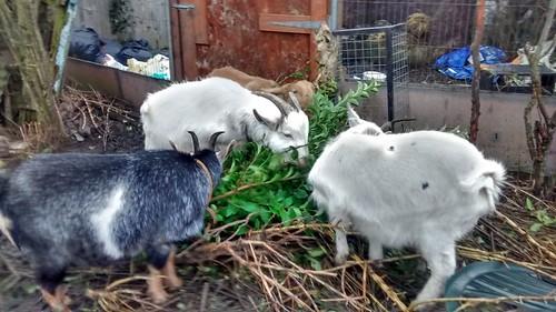 goats Jan 17 4