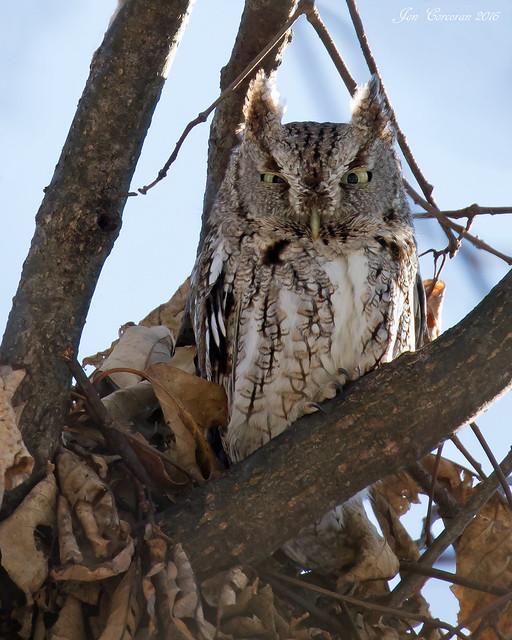 """Northern"" Eastern Screech-Owl"