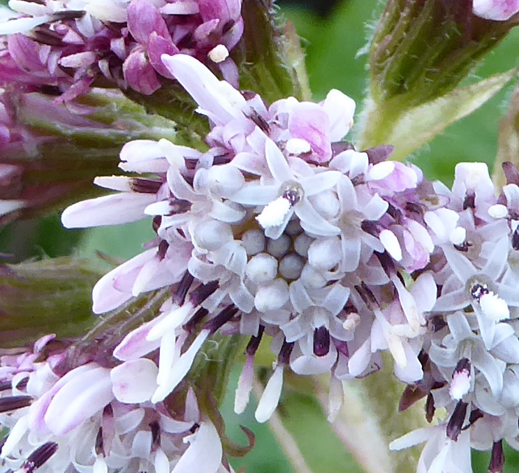 winter heliotrope close up