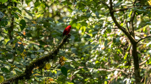 Scarlet Finch spotted near Chushay Khola (altitude 6,500') in KNP (Kangchenjunga National Park)