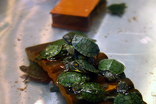 Closeup on Baby Turtles @ Shilin Nightmarket Taipei | by mralenlin