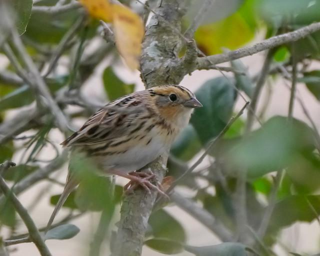 Le Conte's Sparrow - 1