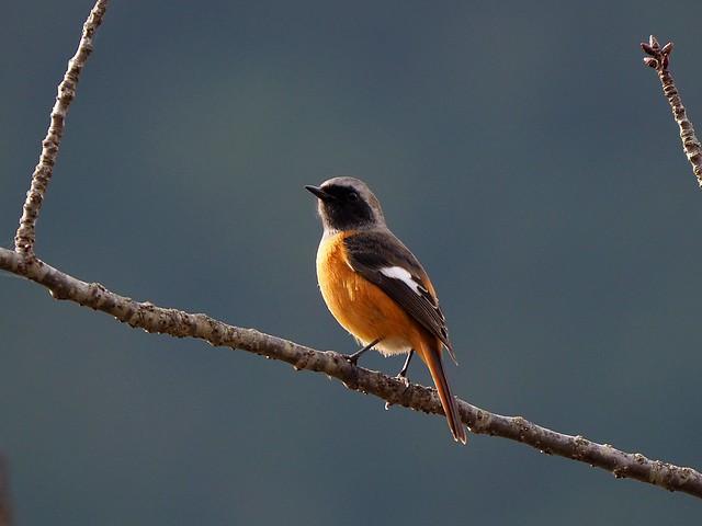 Daurian redstart male (ジョウビタキ)