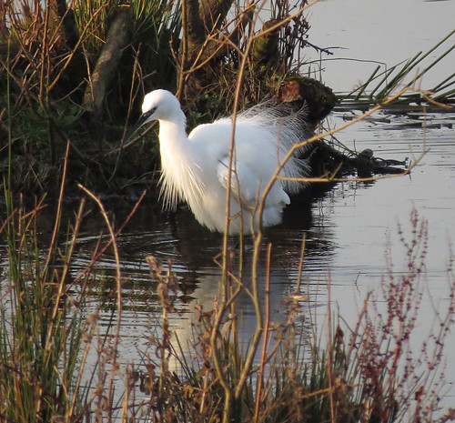 Little Egret Egretta garzetta Tophill Low NR, East Yorkshire December 2016