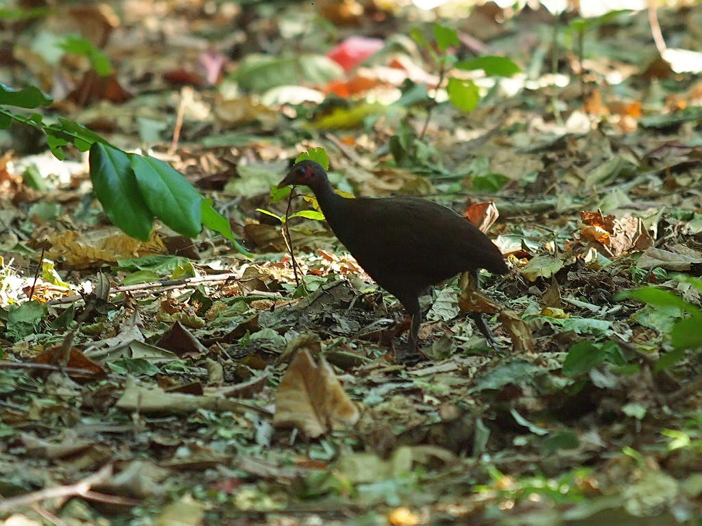 Philippine Scrubfowl