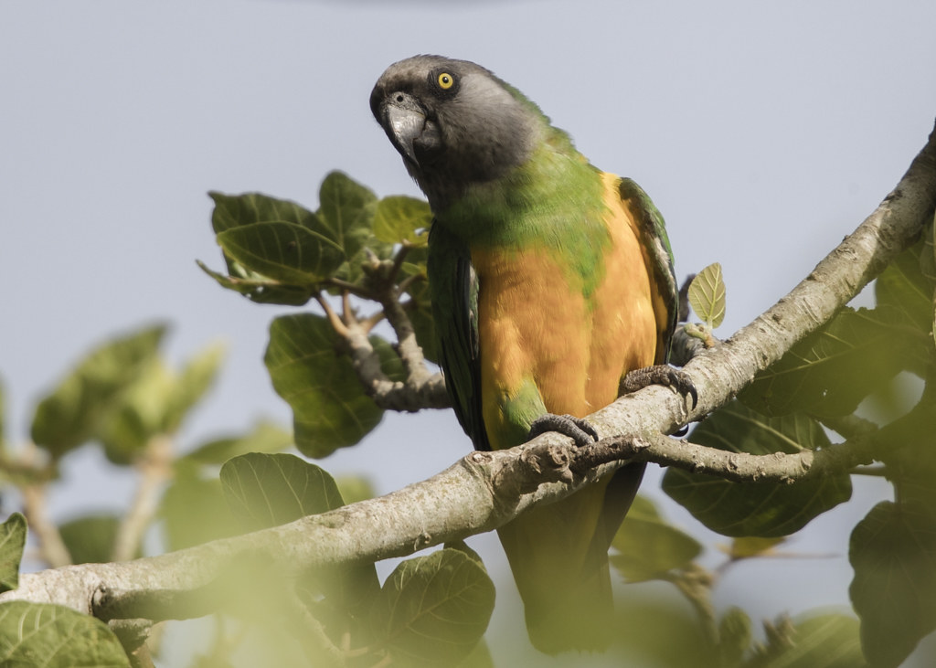 Senegal Parrot   Gambia 2016