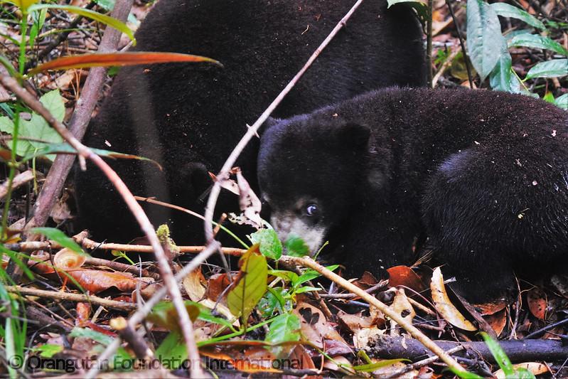 17.09.16._Sun Bear Cub Release_CGD_58_Lensa Cicilia_wm
