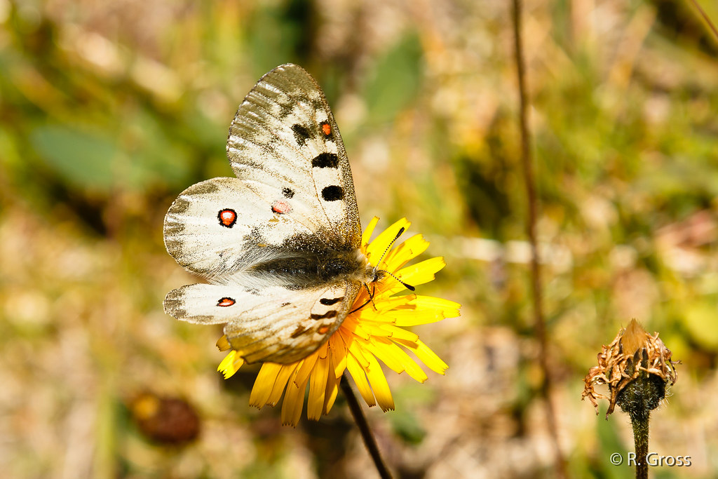 Schmetterling 115