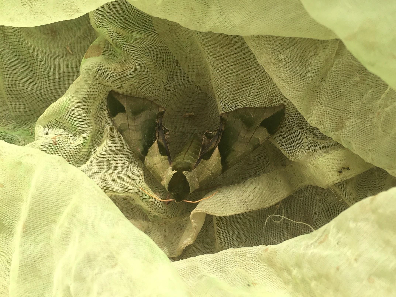 ウンモンスズメ / Callambulyx tatarinovii gabyae Bryk, 1946