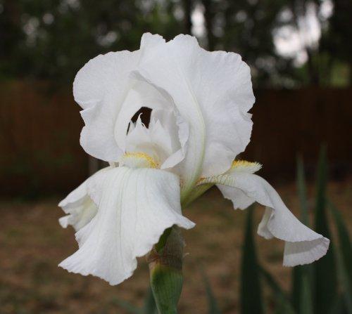 white_iris_20110418