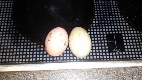 eggs Dec 16 2
