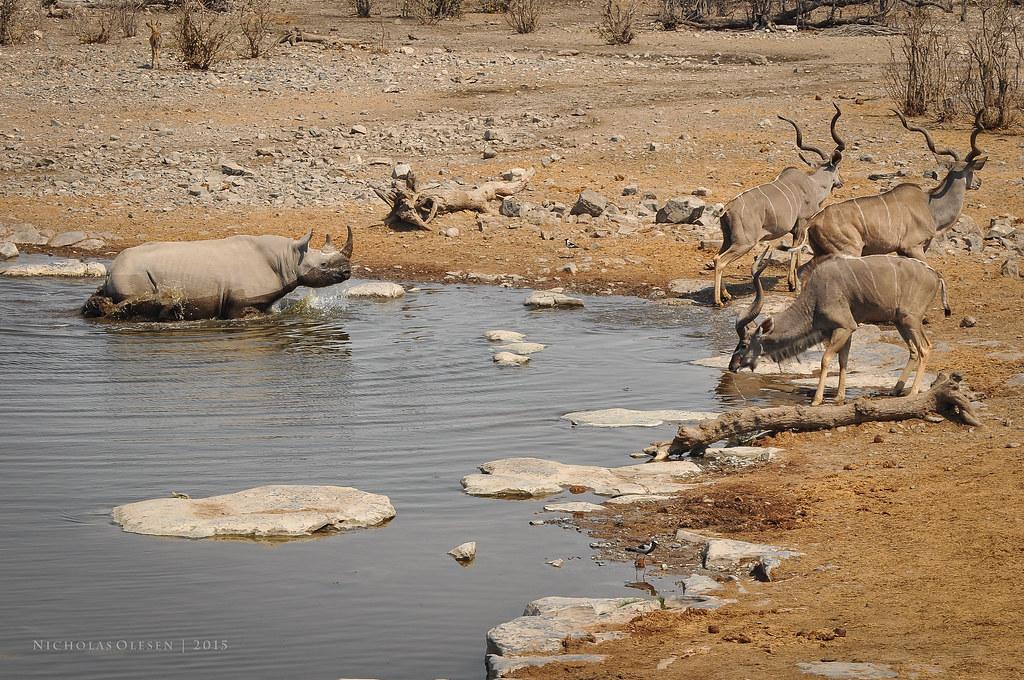 Etosha National Park - Kudus and Black Rhino