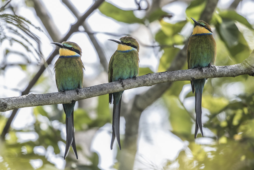 Swallow-tailed Bee-eater   Gambia 2016