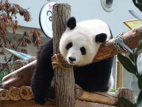 Liang Liang - Giant pandas Liang Liang (female) and cub Nuan Nuan (female) at Zoo Negara, Kuala Lumpur, Malaysia
