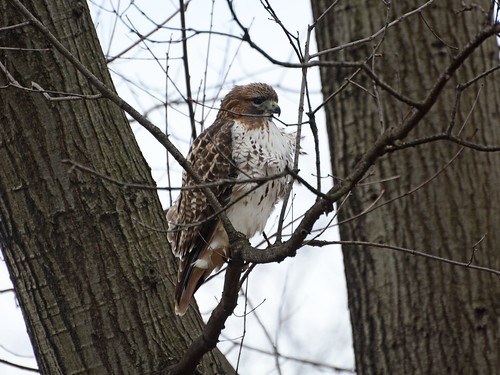 Riverside Red-tail - 0940