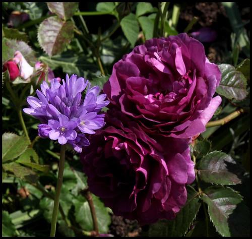 Rose Minerva