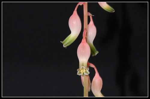 Gasteria bicolor v. liliputana 31678334702_b9e009b445