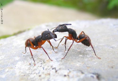 Resultado de imagem para comunicacao das formigas