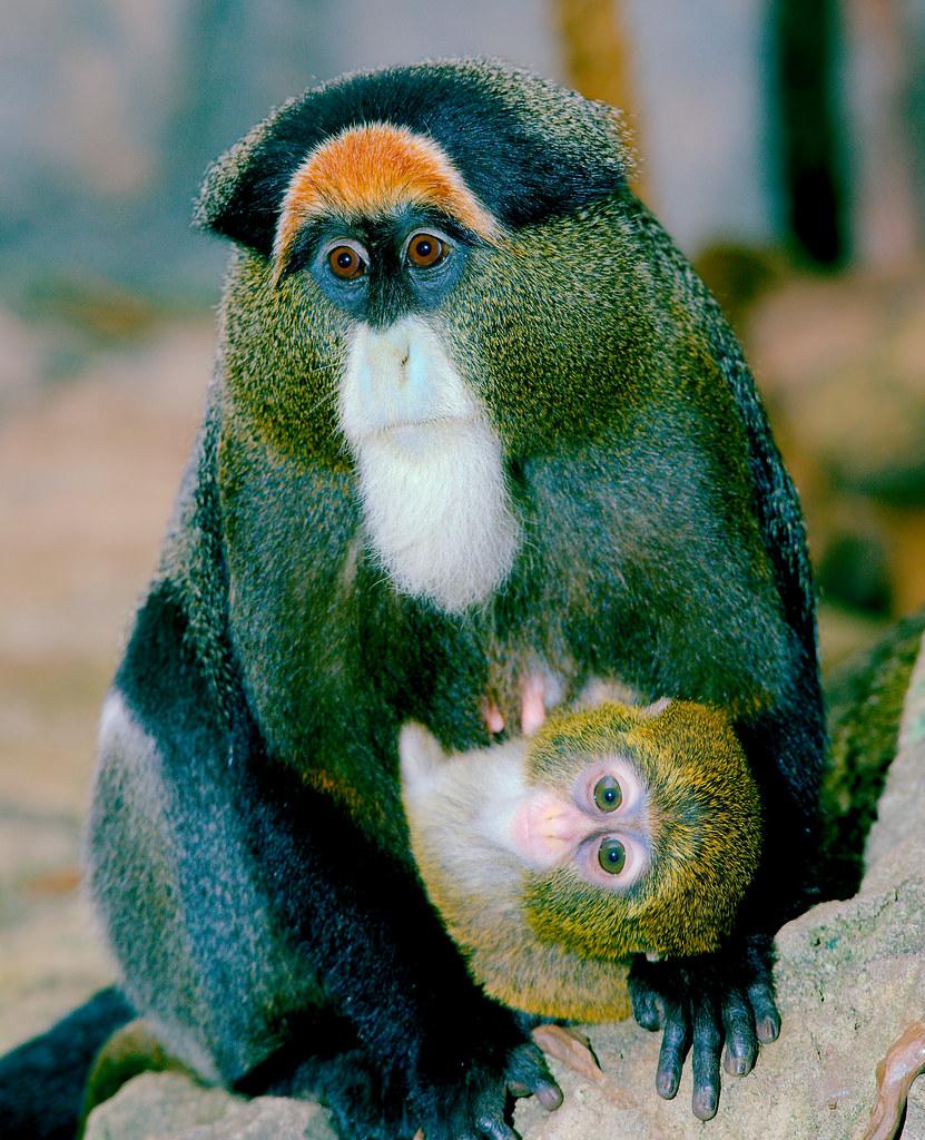 De Brazza's Monkey (Cercopithecus neglectus)_5
