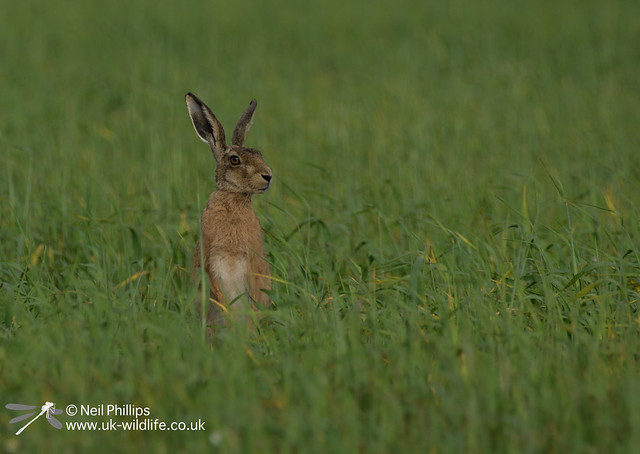27 brown hare