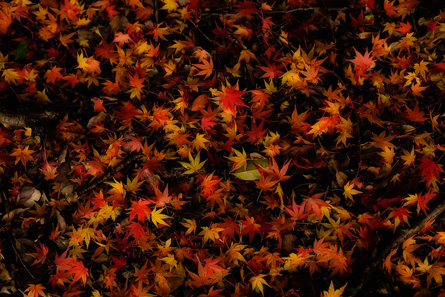 Japanese Maple Forest