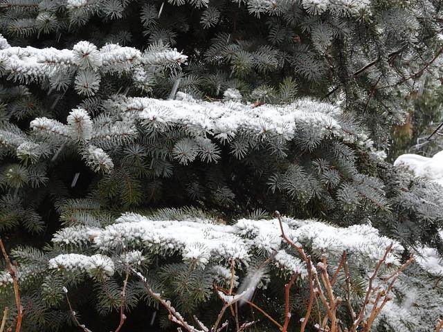 Snow Fallen on Spruce