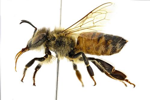 セイヨウミツバチ Apis (Apis) melifera Linnaeus, 1758-2-2