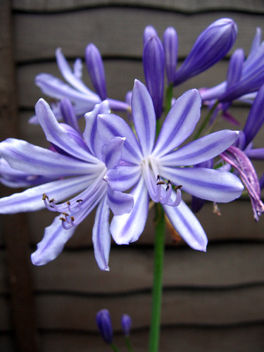 Agapanthus | by Natman