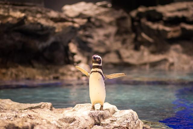 羽を広げるペンギンの写真