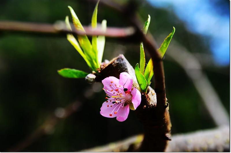 農園桃花 1