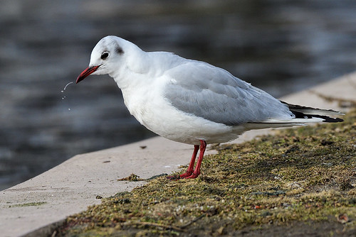 Camman's Pond, NY: Black-headed Gull