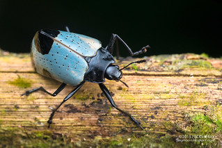 Pleasing fungus beetle (Gibbifer sp.) - DSC_2359