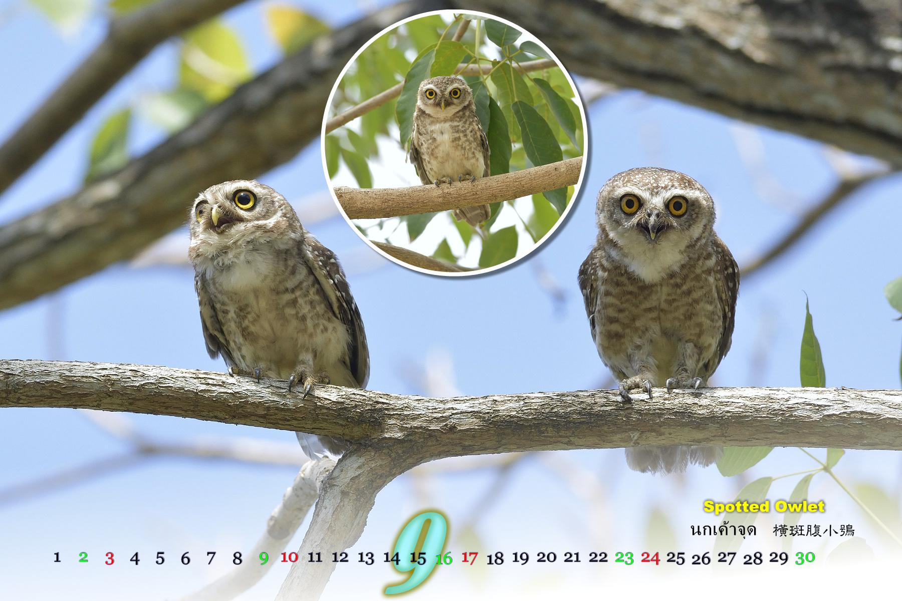 Thai Bird Calendar 2017_09