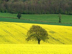 Rapeseed in the Chilterns | by algo
