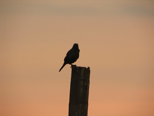 Lone bird on a lone pole | by dumbskull