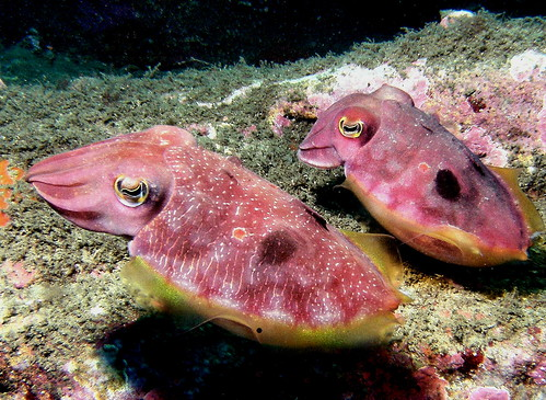 cuttlefish pair | by doug.deep