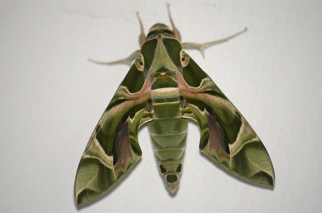 List of moths of Sri Lanka - Wikipedia