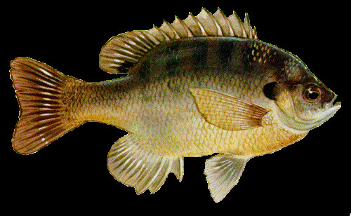 bluegill | by eaglelawofsea