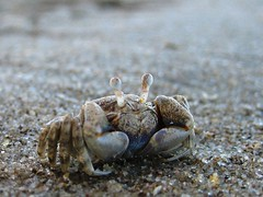 Crab | by nukeit1