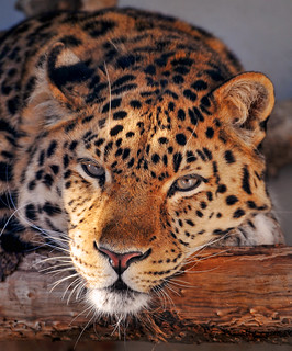 Relaxed leopard | by Tambako the Jaguar
