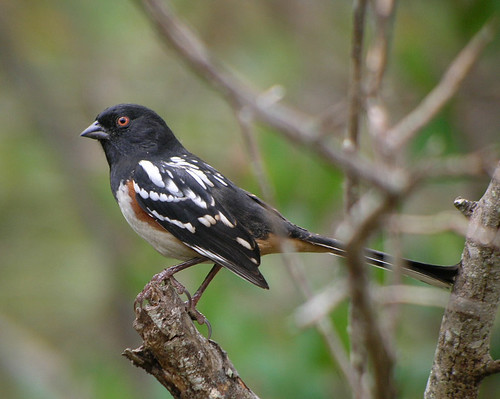 Spotted Towhee (Pipilo maculatus) | by almiyi