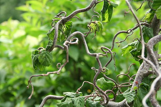 harry lauder/walking stick tree | by brittany soucy